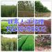 林州周围供应5公分核桃树苗圃158-3619-8602