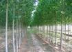 湖北2025杨树苗供应