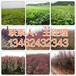 宿州周边哪有4公分红叶碧桃育苗基地134-6243-2343