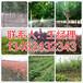 邓州市地区8公分栾树培育基地134-6243-2343