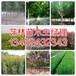 郑州市附近地区4公分红叶碧桃培育基地134-6243-2343