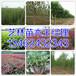 孟州市附近销售梨树苗最新价格134-6243-2343