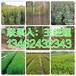 驻马店市周边销售6公分核桃树培育基地134-6243-2343