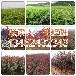 邓州市周围销售苹果树苗最新价格134-6243-2343