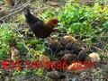 潜龙洞枫桦原生态放养土鸡图片