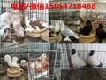 白羽王种鸽价格肉鸽种鸽养殖场图片
