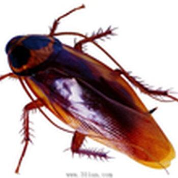 蟑螂药材干成品图