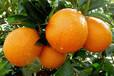 三百山脐橙产地批发