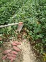 河北唐山红薯批发种植基地红薯苗种植基地图片