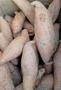 河北唐山红薯种植批发基地-2018年最新报价图片