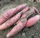 河北唐山小辉烟薯25红薯种植基地-无皮烤薯供应商