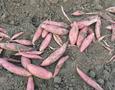 河北唐山红薯干生产厂家联系热线图片