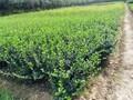 遵化大叶黄杨种植图片