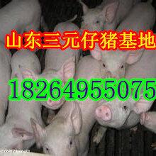 湖北三元仔猪价格湖北仔猪交易市场山东仔猪价格图片