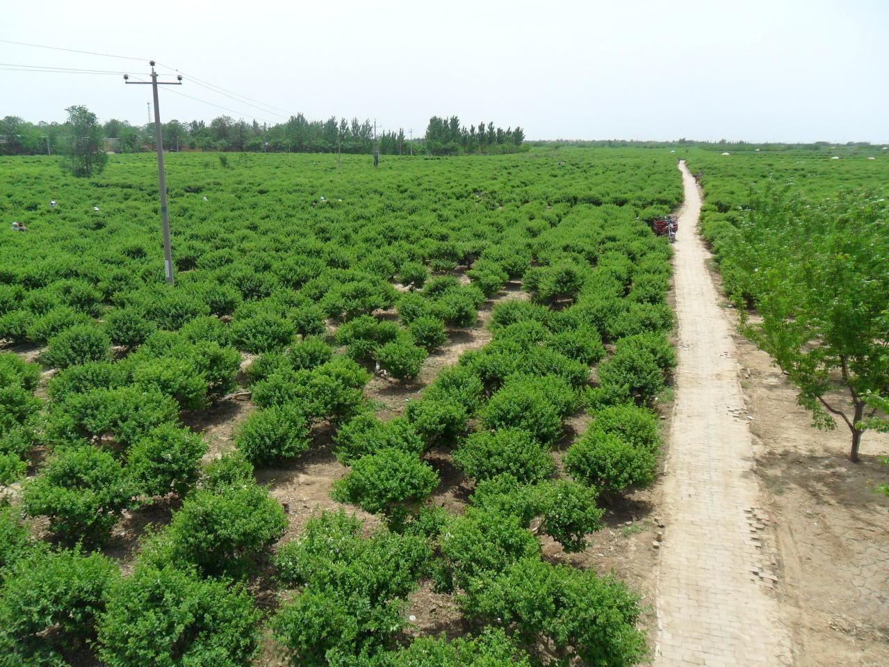 河北巨鹿县巨翔金银花枸杞苗木种植基地