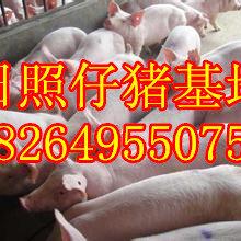 山东日照仔猪价格莒县三元仔猪基地山东三元仔猪交易市场图片