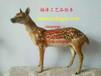 小梅花鹿標本