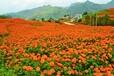 万寿菊种子价格多少钱一斤