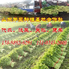 山东芹菜基地常年供应精品五指菜芹图片