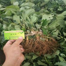抚顺草莓苗培育基地法兰地草莓苗多少钱一棵一亩地产多少斤草莓图片