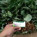 遼寧丹東草莓苗怎么樣丹東白草莓苗多少錢一棵