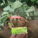 遼寧大連市草莓苗培育基地,奶油草莓苗價格一畝地栽多少草莓苗