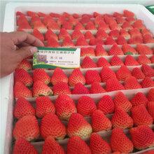 云南普洱奶油草莓苗培育基地云南哪里有草莓苗培育基地?图片