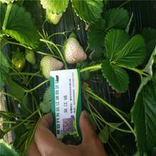 红颜草莓苗与章姬草莓苗哪一个产量高红颜草莓苗批发价格图片