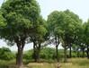 香樟報價:香樟樹、叢生五角楓、叢生三角楓、叢生元寶楓、羅漢竹