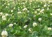 东莞绿野生态专业销售绿化草种,抗旱草种,耐热草种,护坡草种