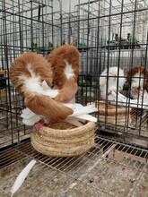 新疆哪里有養元寶鴿的一對元寶鴿多少錢圖片