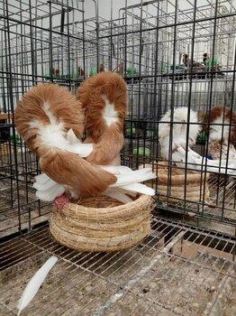 天津观赏鸽价格观赏鸽图片观赏鸽有哪些品种