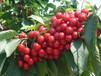 櫻桃樹苗培育基地,供應品種好的大櫻桃苗