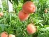 中桃紅玉桃苗哪里有賣-超越2號桃苗價格