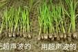 廣州可靠的作物種子增產處理調優技術-幫助小麥增產