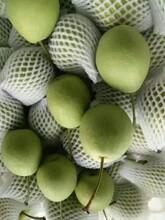 豐水梨鴨梨長把梨大量現貨供應冠縣立揚水果專業合作社圖片