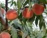 你是不是要找黃金蜜1號桃苗種植基地,基地,我知道