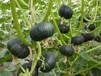 贝贝南瓜价格广聚果蔬供应报价合理的贝贝南瓜