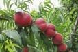 三生三世十里桃花利民中油21桃苗,基地,種植基地,價格
