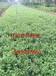 河北急性子——易成活的桔梗种子出售