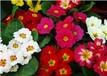 冬季花壇常用花卉種類耐凍的草花有哪些,茗茜花卉基地