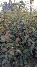 梨树苗价格黄金、皇冠、秋月、奥红一号、早酥红梨新梨七号苗圃直销图片