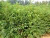 紅油香椿栽培技術大棚專用紅油香椿苗價格山東批發香椿樹苗