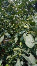 核桃树苗价格嫁接核桃树苗批发苗圃直销核桃树苗