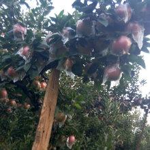 苹果苗批发新品种苹果苗苗圃直销图片
