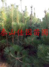 黑松价格造型黑松多少钱一棵荒山绿化黑松批发