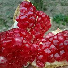 石榴苗产量果石榴之泰山红石榴树苗哪里有卖的