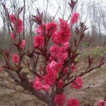 早櫻的花期是幾月,紫荊的花期是幾月,迎春幾月份開花;江瑞圖片