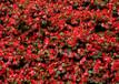 四季海棠種植-實惠的四季海棠哪里有