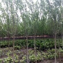 2到3公分好树形垂丝海棠基地报价垂丝海棠好树形图片图片